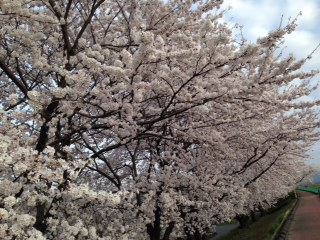 ☆家族で日野川の桜並木道で花見をした☆